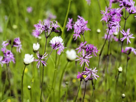 Pink flowers of ragged-robin, Lychnis flos-cuculi, growin on a meadow with other spring flowers