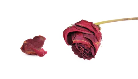 Dried red rose isolated white background
