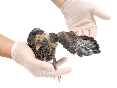 Veterinarian examines a wing of a young pigeon on a white background photo