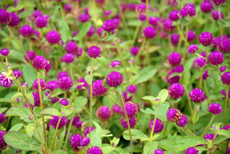 globosa: Gomphrena globosa. Background from pink flowers and greens