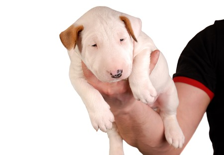 White Bull Terrier Puppy in hand over white background