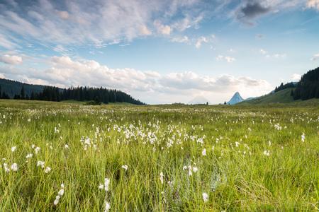 In den sumpfigen Gebieten des Himmels auf der Hinteregger Alm blühen im Sommer Wollgräser, kurz nach dieser Aufnahme zog ein gewaltiges Unwetter aus Oberösterreich über die Alm