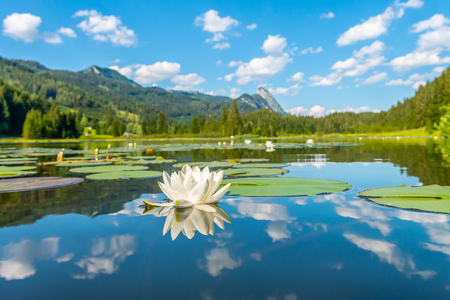 white Water Lily in front of Blue Sky, no People