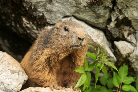Close up of an inquisitive Alpine marmot, Marmota marmota, peering out of a hole in rocks in the wild Фото со стока
