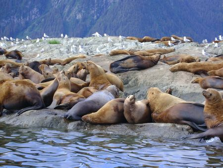 Seals sunbathing in Alaska