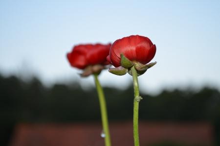buttercup: flowers, buttercup Stock Photo