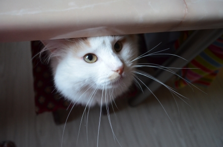 cat s muzzle looking out from under a table photo