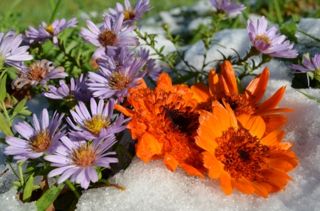 calendula and lilac flowers in snow on a green grass photo