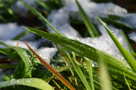 dewdrops: green grass under snow in dewdrops in the autumn macro