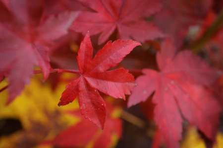 maple red Stock Photo - 16041337