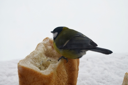 tomtit: bird tomtit Stock Photo