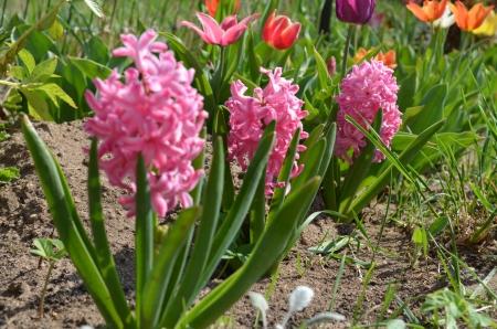 hyacinths: pink hyacinths in the garden Stock Photo