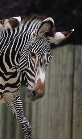 chapmans: zebra