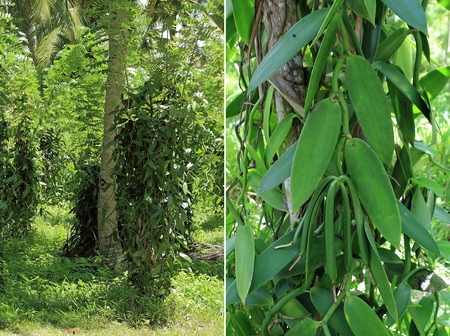 diptych on the subject of the cultivation of vanilla