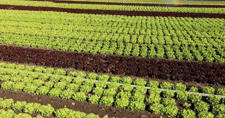 fields of salads