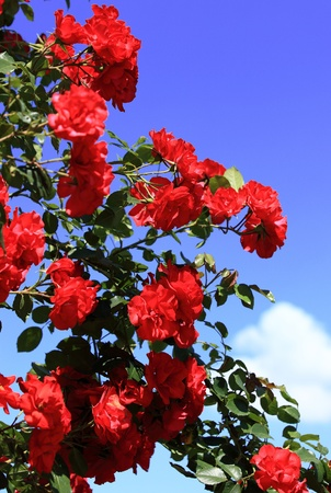rose-bush: Rosebush