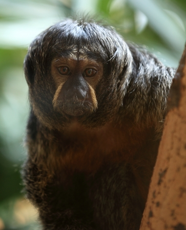 saki: white-faced saki