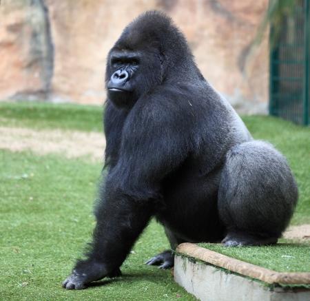 gorila: gorila