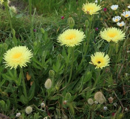 hawkweed: hieracium pilosella