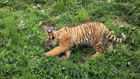 baby tiger: baby tiger