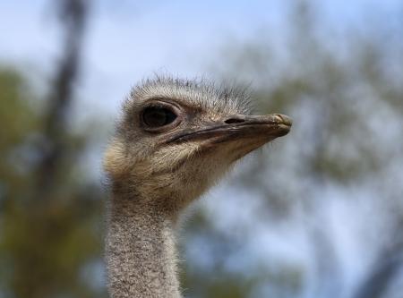 portrait ostrich Stock Photo - 14268635
