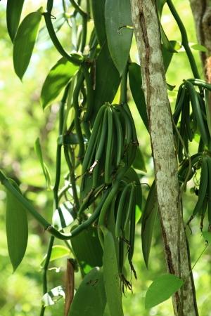 clove plant: culture of vanilla