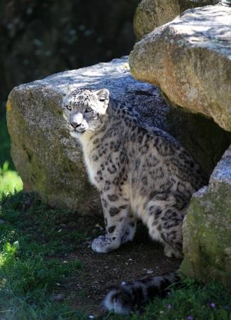 irbis: snow leopard irbis