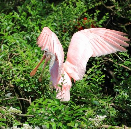 roseate: roseate spoonbill