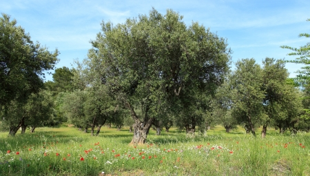 olive trees and poppies