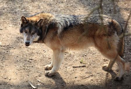 lone Wolf photo