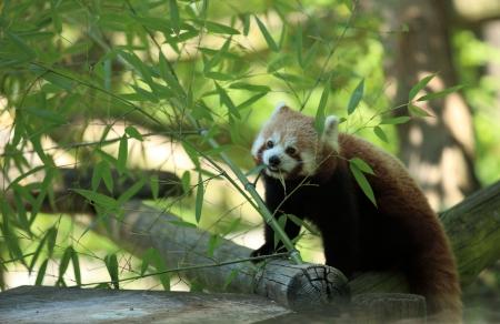 red panda in bamboos photo
