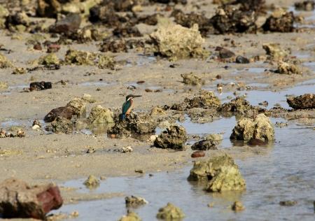 marsa: kingfisher