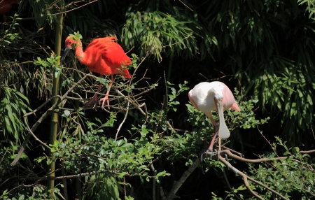 roseate: red ibis and roseate spoonbill Stock Photo