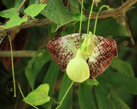 aristolochia gagantea Stock Photo - 17448707