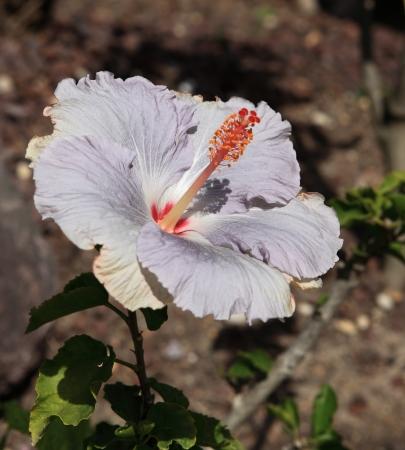 giant hibiscus grey Stock Photo
