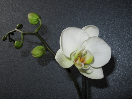 white orchid 写真素材