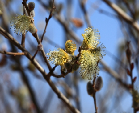 bud of willow