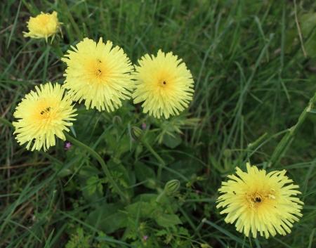 hawkweed: pilosella