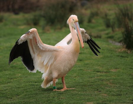 white pelican Stock Photo - 18670279