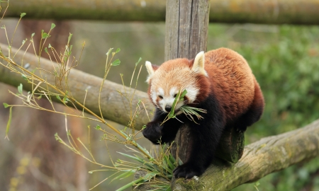 lesser: lesser red panda