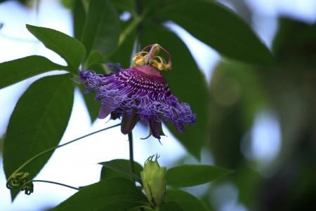 passiflora: passiflora Stock Photo