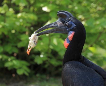 hornbill: Abyssinian hornbill