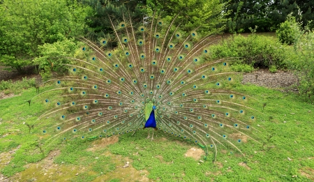 peacock wheel: wheel peacock