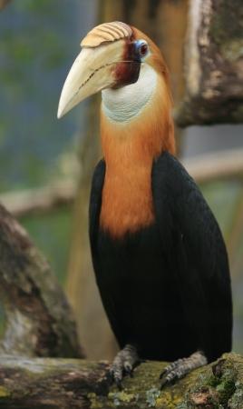 hornbill: papuan hornbill Stock Photo