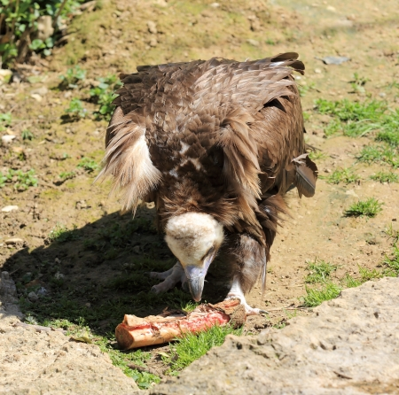 carrion: vulture devouring its carrion