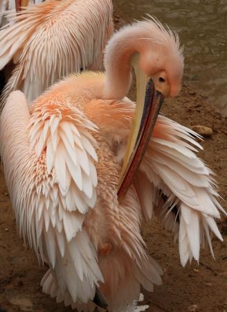 pelecanidae: white pelican Stock Photo