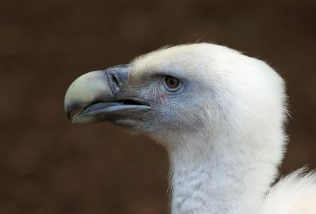 griffon: head of griffon vulture