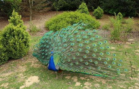 peacock wheel: Pavone al parco
