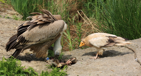 devouring: griffon vulture and of Egypt