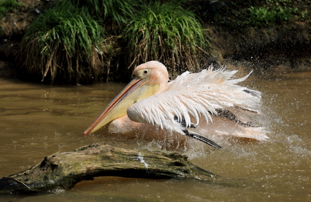 white pelican perched